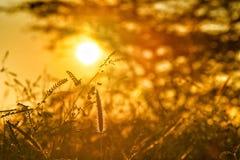 Силуэт захода солнца травянистый мечт стоковые изображения rf