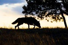 Силуэт звероловства волка тимберса Стоковая Фотография RF