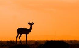 Силуэт импалы против африканского захода солнца Стоковое Изображение