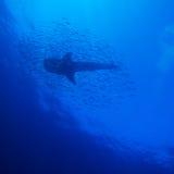 Силуэт китовой акулы Стоковое Фото