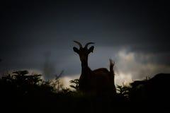 Силуэт козы Стоковая Фотография