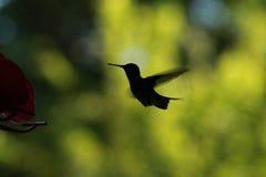 Силуэт колибри стоковое фото
