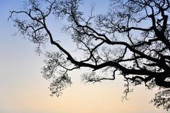Силуэт мертвого дерева Стоковое Изображение RF