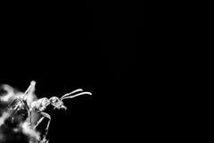 Силуэт муравья на черной предпосылке Стоковое Фото