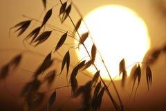Заход солнца на поле овса Стоковое Фото