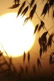 Заход солнца на поле овса Стоковая Фотография RF