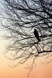 Силуэт окуня вороны на ветвях дерева Стоковые Фото