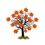 Силуэт одиночного красивого дерева клена Стоковое Фото