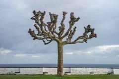Силуэт одиночного подрезанного дерева без листьев во время зимы Стоковое Фото