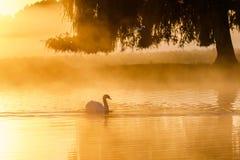 Силуэт одиночного olor Cygnus безгласного лебедя на золотом пруде Стоковые Изображения