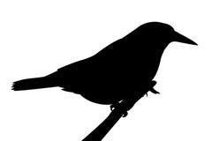 Силуэт птицы на ветви. Стоковая Фотография RF