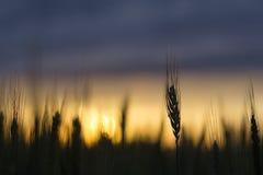 Силуэт пшеничного поля Стоковое Изображение