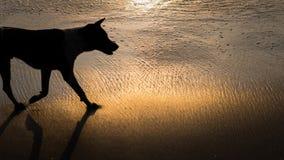 Силуэт собаки в золотом свете захода солнца, на красивом кристаллическом заливе в Nusa Penida Бали стоковое изображение rf