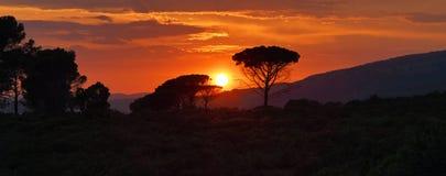 Силуэт сосен парасоля против красивого захода солнца Стоковое Фото