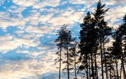 Силуэт сосны против пасмурного неба захода солнца Стоковое Фото