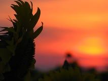 Силуэт солнцецвета Стоковое Изображение