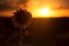 Силуэт солнцецветов в поле в после полудня  Стоковые Изображения