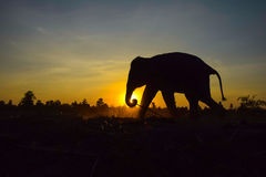 Силуэт слона на заходе солнца, Стоковые Изображения RF