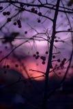 Силуэт фруктового дерев дерева зимы на яркой фиолетовой розовой задней части захода солнца Стоковое Фото