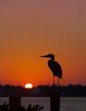 Силуэт цапли большой сини на восходе солнца стоковая фотография rf