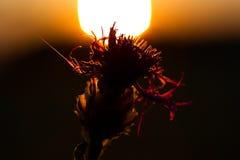 Силуэт цветения цветка стоковые изображения rf