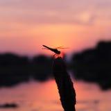 Силуэт Dragonfly на сумерк Стоковое Фото