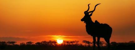 Силуэт Kudu захода солнца Южной Африки Стоковая Фотография RF
