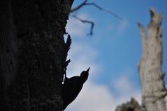 Силуэт Woodpecker Стоковые Фото