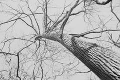 Сильное мертвое дерево в глухую зимнюю пору Стоковое фото RF