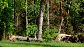 Сильные ветеры опровергли редкие деревья в парке Стоковые Фотографии RF
