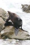 Сильный мужской морской котик на утесе Стоковое Изображение