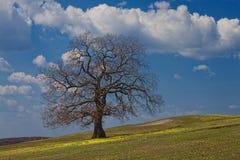 Сильный дуб под небом весны Стоковая Фотография