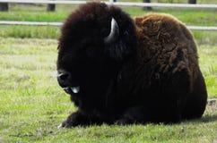Сидя буйвол стоковая фотография rf