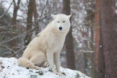 Сидя ледовитый волк Стоковые Фото
