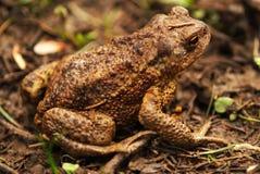 сидя жаба Стоковое Изображение