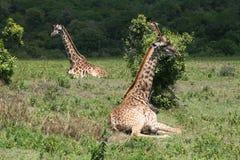 Сидя жирафы Стоковые Изображения RF