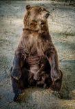 Сидя медведь Стоковая Фотография