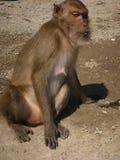 Сидя обезьяна Стоковое Изображение