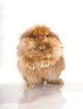 Сидя кролик Стоковая Фотография