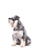 Сидя собака шнауцера Стоковое Изображение