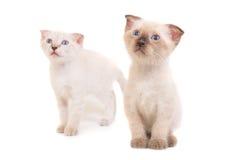 2 сидя чистоплеменных котят Стоковое фото RF