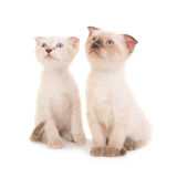 2 сидя чистоплеменных котят Стоковое Изображение