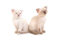 2 сидя чистоплеменных котят Стоковые Фото