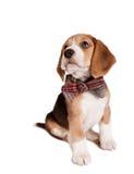 Сидя щенок бигля с натянутым луком Стоковое Изображение
