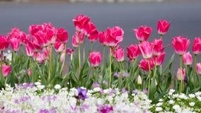Сказание говорит что первые тюльпаны выросли из капелек крови дракона стоковые фотографии rf
