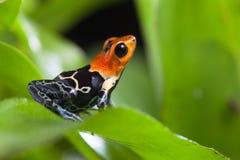 Сказовая лягушка дротика отравы Стоковые Фотографии RF
