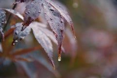 Сказ джунглей клена на дожде Стоковые Изображения