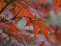 Сказ падения в лес кленов Стоковая Фотография