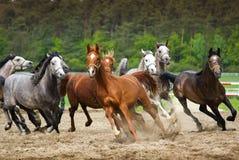 Скакать аравийские лошади Стоковое фото RF