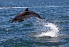 скакать дельфина bottlenose Стоковая Фотография
